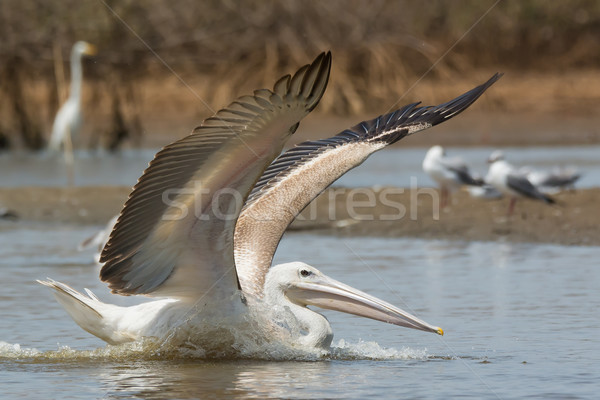 Pink-backed Pelican in the mangroves with wings out Stock photo © davemontreuil
