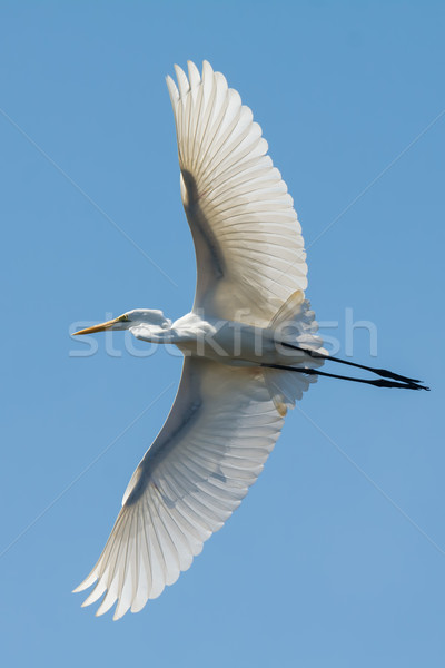 Great White Egret (Egretta alba) in flight with wings spread wid Stock photo © davemontreuil