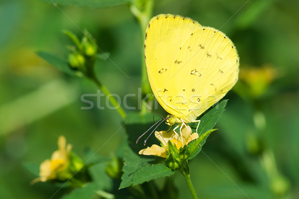 Common Grass Yellow Butterfly - Eurema hecabe Stock photo © davemontreuil