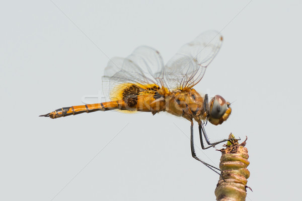 Keyhole (or Wheeling) Glider Draonfly Stock photo © davemontreuil