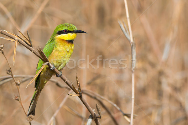 Little Bee-Eater perched in dried grasses Stock photo © davemontreuil