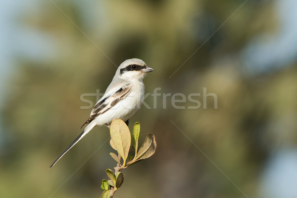Southern Grey Shrike perched on the top of a small bush Stock photo © davemontreuil
