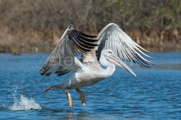 Pink-backed Pelican in flight on a fishing lunge Stock photo © davemontreuil