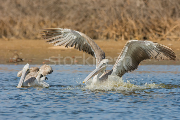 Pink-backed Pelican with wings up rushing forwards to dive for f Stock photo © davemontreuil