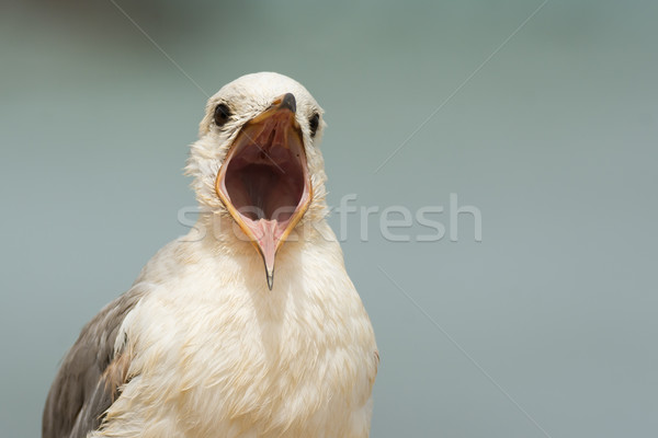 A very detailed portrait of a young Grey-Headed Gull (Larus cirr Stock photo © davemontreuil