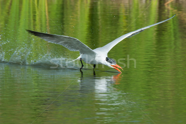 A Caspian Tern (Hydroprogne caspia) scooping up a drink of water Stock photo © davemontreuil