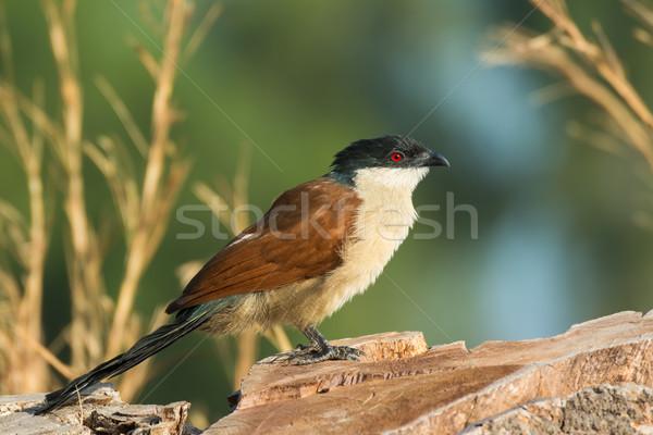 Senegal pássaro belo em pé Foto stock © davemontreuil