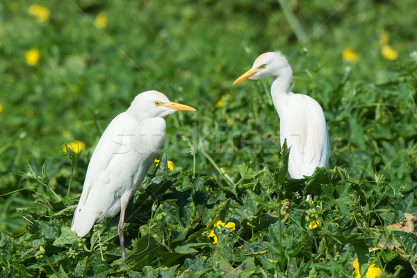 2 Cattle Egrets (Bubulcus ibis) standing on a leafy mound Stock photo © davemontreuil