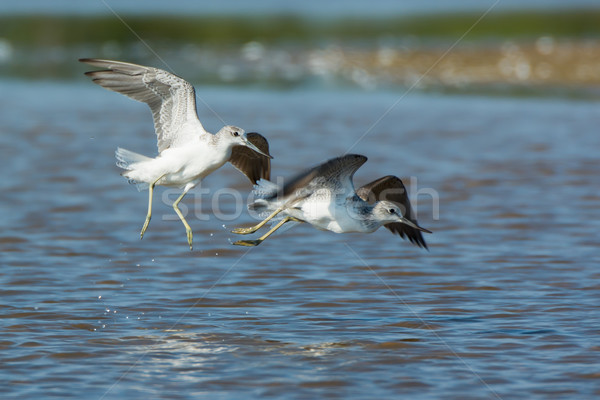 Two Common Greenshanks playing on beach Stock photo © davemontreuil