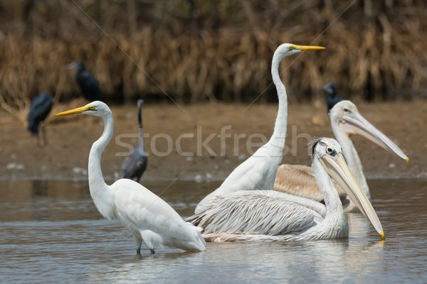 Mixed group of Pinked-Back Pelicans and Great White Egrets Stock photo © davemontreuil
