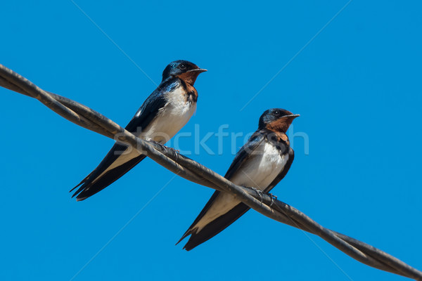Two Red-Chested Swallows perched on a wire Stock photo © davemontreuil