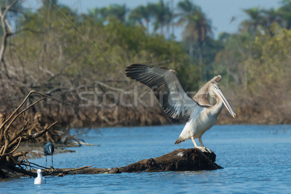 Young Pink-backed Pelican stretching its wings in the mangroves Stock photo © davemontreuil