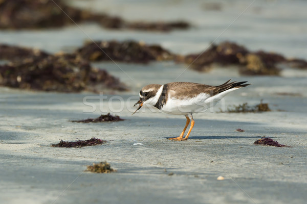 A Ringed Plover (Charadrius hiaticula) eating a worm pulled up f Stock photo © davemontreuil