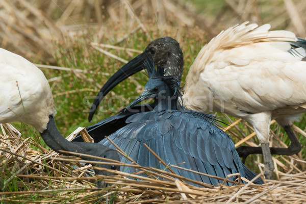 A Black Egret (Egretta ardesiaca) poking its head out from under Stock photo © davemontreuil