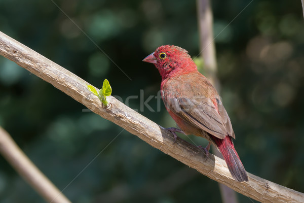 Male Red-billed Firefinch (Lagonosticta senegala) perched on a b Stock photo © davemontreuil