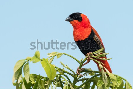 A male Northern Red Bishop (Euplectes franciscanus) in full bree Stock photo © davemontreuil