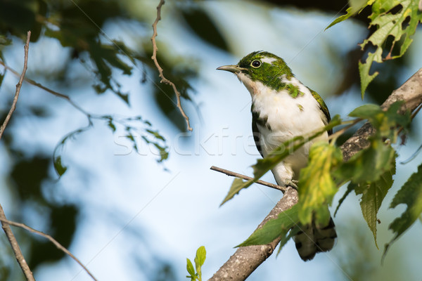 Klaas's cuckoo (Chrysococcyx klaas) perched in a tree with leave Stock photo © davemontreuil