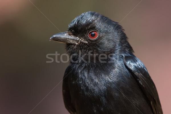 肖像 自然 アフリカ 黒 フォーク 動物 ストックフォト © davemontreuil