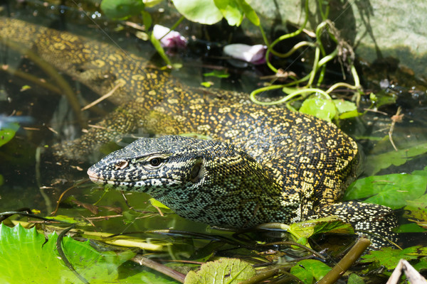 Nile Monitor Lizard Stock photo © davemontreuil