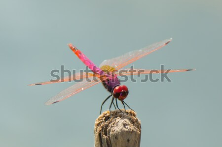 Violet Dropwing Dragonfly Stock photo © davemontreuil