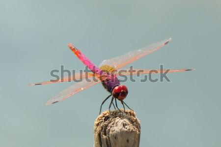 バイオレット トンボ 美しい ピンク 赤 紫色 ストックフォト © davemontreuil