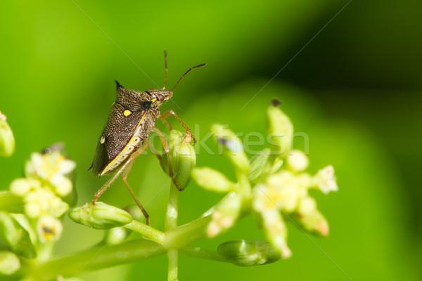 Three Spot Shield Bug Stock photo © davemontreuil
