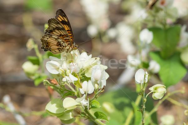 Kicsi pillangó iszik nektár gyülekezet fehér virágok Stock fotó © davemontreuil