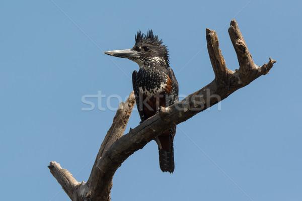 Riese Eisvogel Vogel Afrika schönen nice Stock foto © davemontreuil