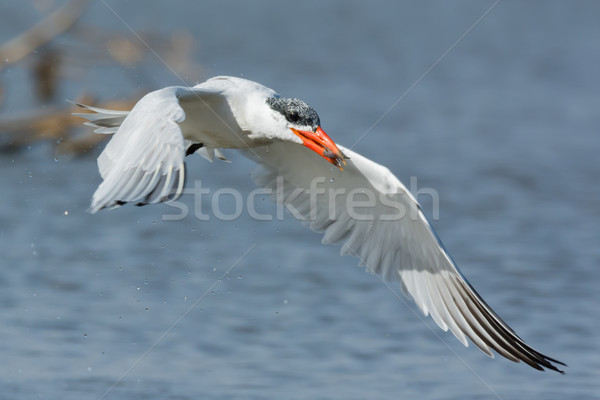 Wet Caspian Tern in flight with a small fish Stock photo © davemontreuil