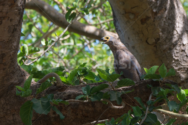 An almost grown African Harrier Hawk or Gymnogene calling for a  Stock photo © davemontreuil