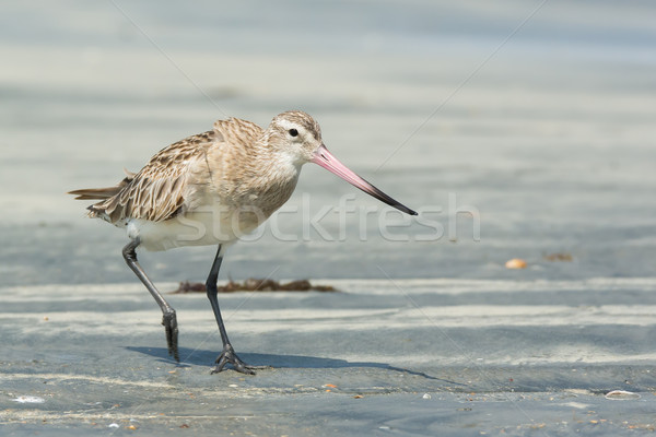 Bar-tailed Godwit striding along at the beach Stock photo © davemontreuil