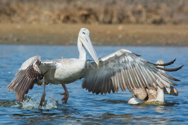 Pink-backed Pelican rushing forwards to dive for fish Stock photo © davemontreuil