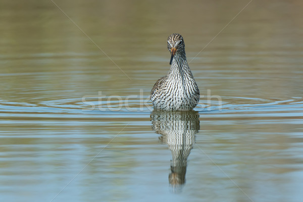 A frontal view of a Common Redshank (Tringa totanus) standing in Stock photo © davemontreuil