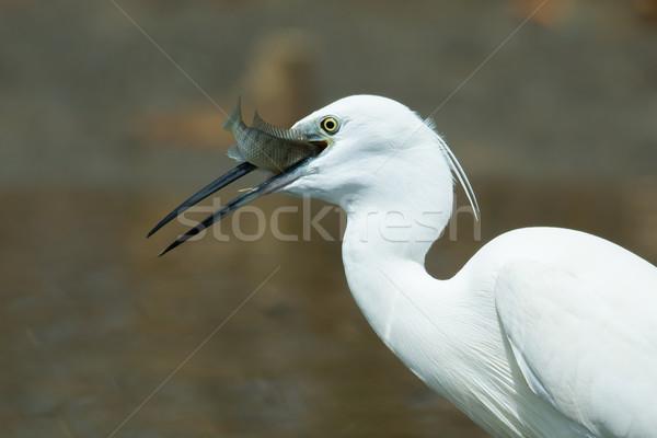 Witte westerse reiger vis uit water Stockfoto © davemontreuil