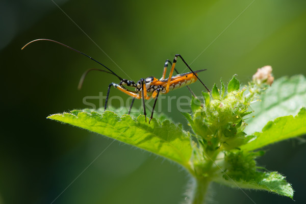 Yellow, Black and White Assassin Bug from West Africa Stock photo © davemontreuil