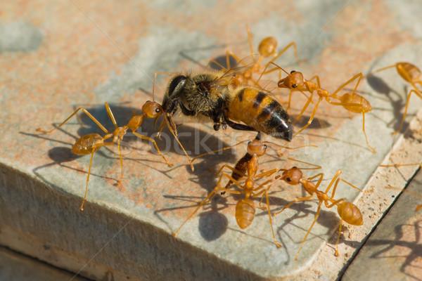 Formigas mel de abelha casa grupo África Foto stock © davemontreuil