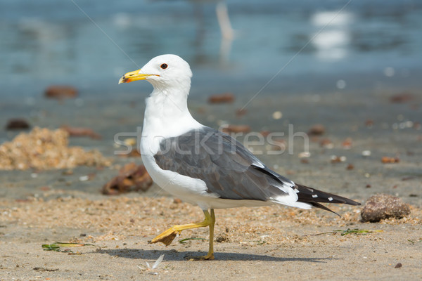 Lesser Black-Backed Gull (Larus fuscus) Stock photo © davemontreuil