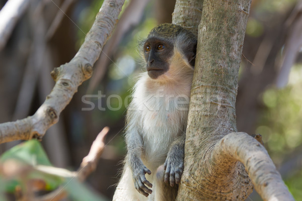 Young Green Vervet Monkey Stock photo © davemontreuil