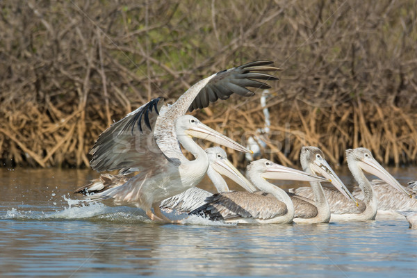 Pink-backed Pelican (Pelecanus rufescens) landing Stock photo © davemontreuil