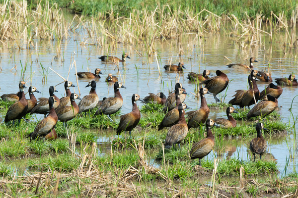 Flock of White-faced Whistling Ducks Stock photo © davemontreuil