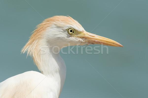 Stockfoto: Portret · vee · water · vogel · zand · afrika