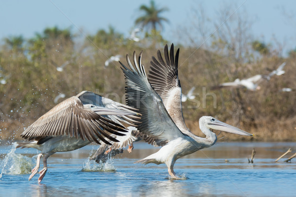 Pink-backed Pelicans during take off in the mangroves Stock photo © davemontreuil