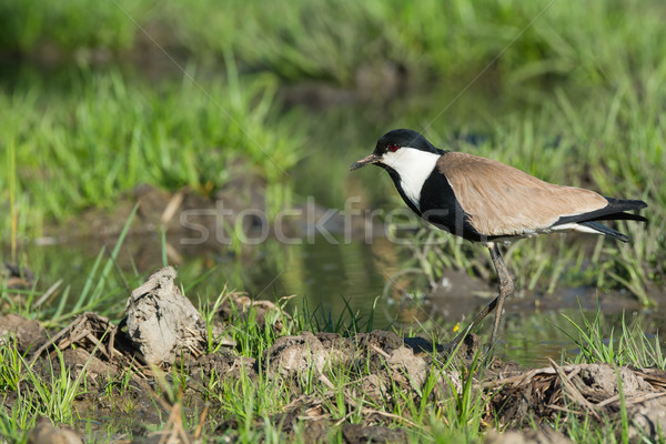 Spur-Winged Lapwing (Vanellus Spinosus) on a grassy bank in a ma Stock photo © davemontreuil