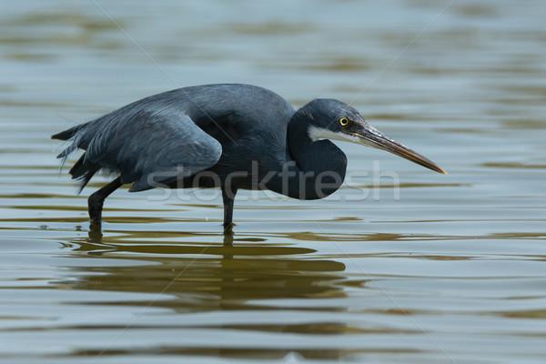 西部 鷺 狩猟 スタイル 黒 水 ストックフォト © davemontreuil