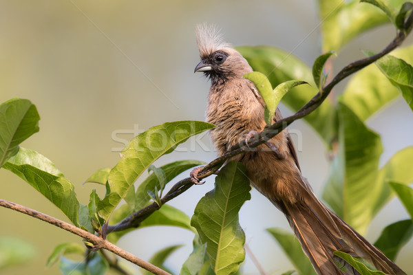 Speckled mousebird (Colius striatus) perched on a twisted vine Stock photo © davemontreuil