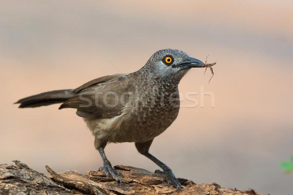 ブラウン グラスホッパー 口 鳥 アフリカ 美しい ストックフォト © davemontreuil