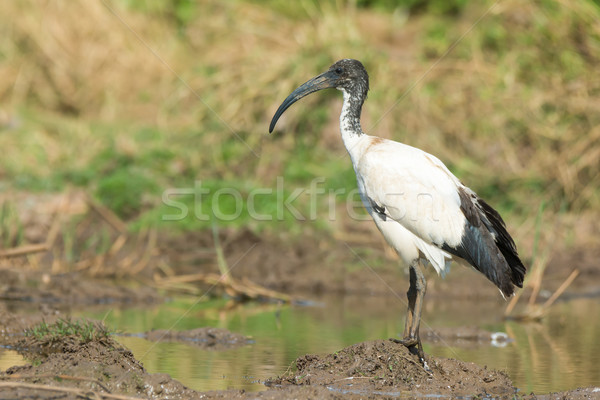 Em pé lama lagoa água belo Foto stock © davemontreuil
