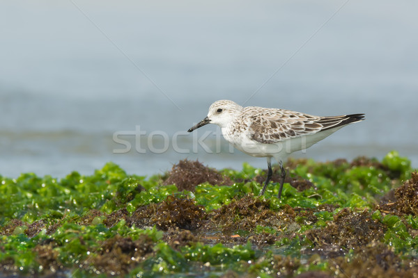 Sanderling standing on seaweed covered rocks at low tide Stock photo © davemontreuil