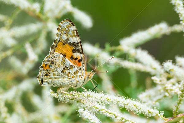 Canessa cardui - Painted Lady Butterfly Stock photo © davemontreuil