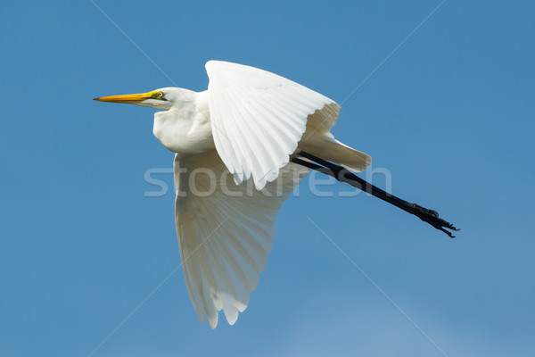 Great White Egret (Egretta alba) in Flight Stock photo © davemontreuil